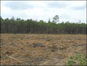 Image of a loblolly pine clear cut area