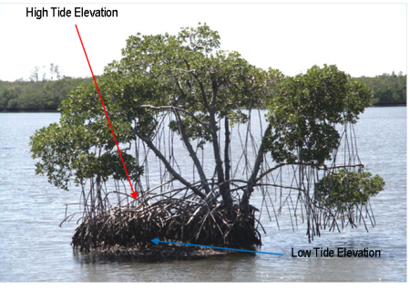 Image of mangroves showing high tide and low tide marks.